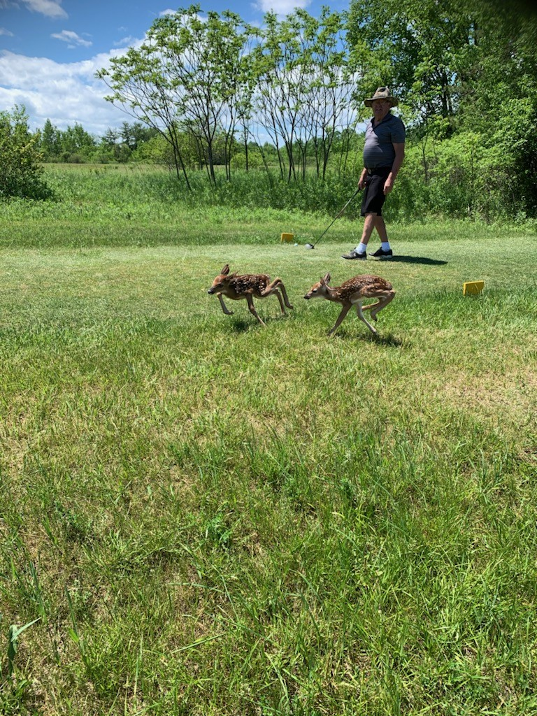 Newborn fawns on Hartford Greens Country Club course