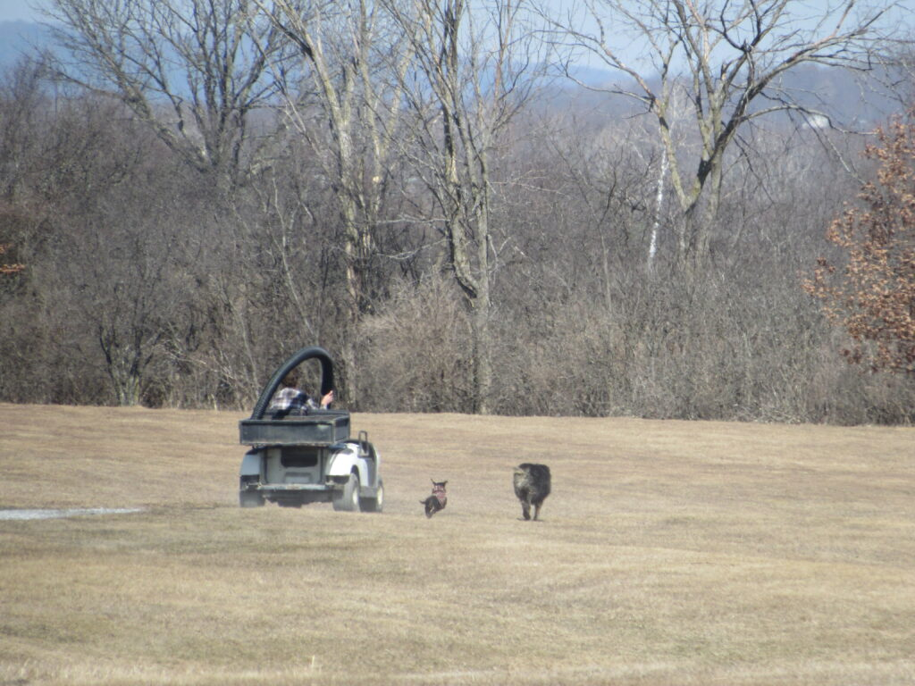 Peanut and Ringo heading out to do some cart path work with Dylan