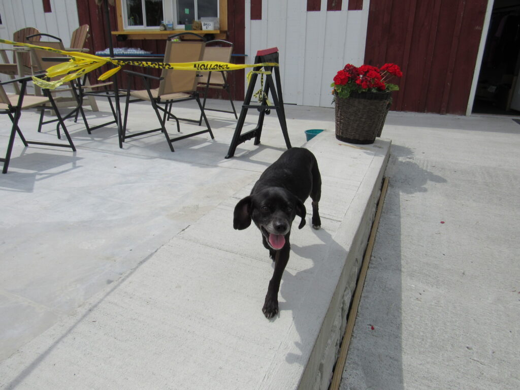 Peanut walking the newly poured patio outside the Pro Shop at Hartford Greens Country Club.